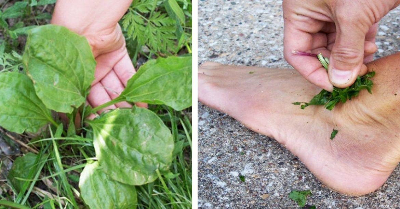 Credem că e plantă banală, însă este cel mai bun tratament de pe planetă
