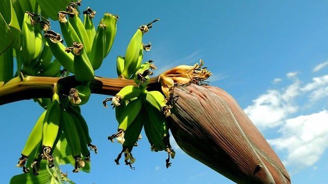 Aceasta este dieta MINUNE cu banane verzi, indicată la orice vârstă.