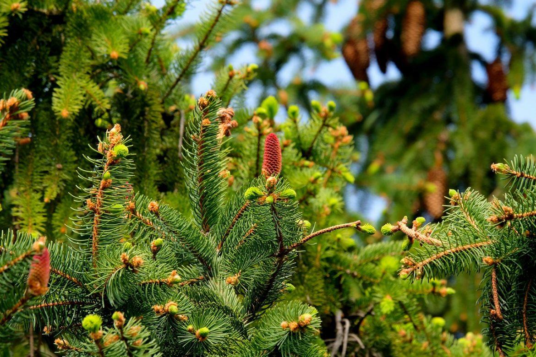 bradul și pinul desfundă căile respiratorii