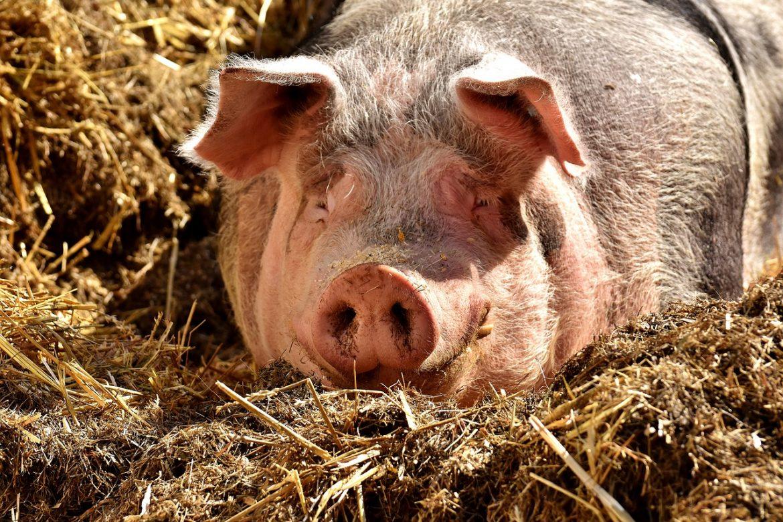 s-a înjunghiat în abdomen în timp ce încerca să taie un porc