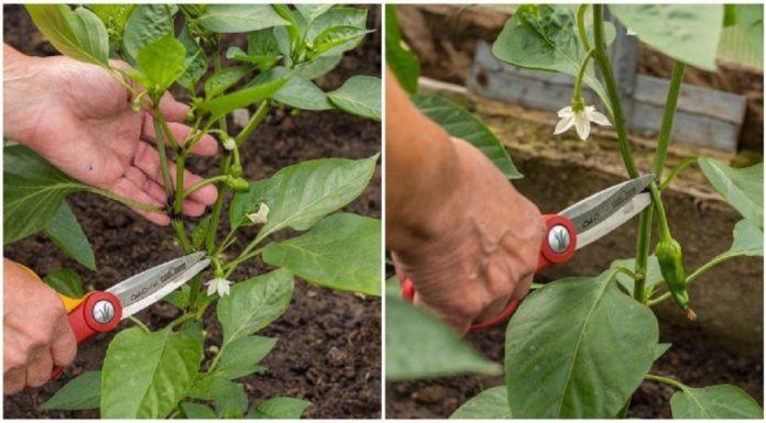 Îngrijirea tufelor de ardei – Metodă pas cu pas pentru o recoltă bogată