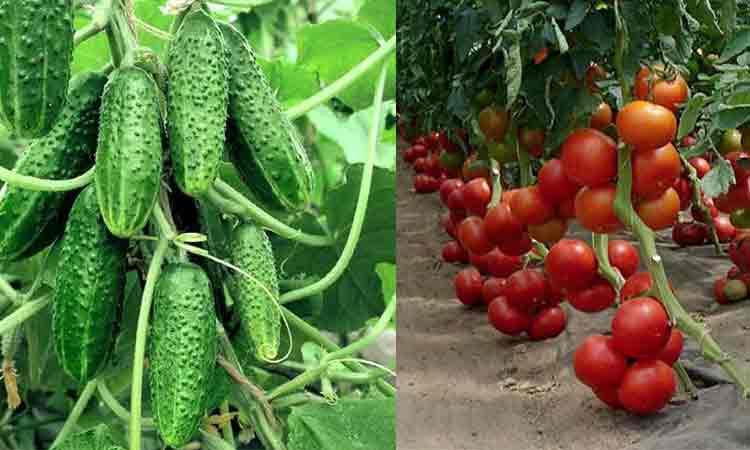 Apa, drojdie si zahar: 3 ingrediente pe care toata lumea le are la indemana, pentru o recolta bogata de castraveti si rosii
